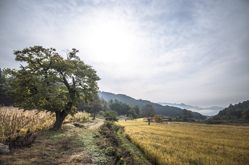 Rice harvest at 최성현 Seonghyun Choi's natural farm in South Korea